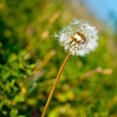 Dandelion close up background — Stock Photo