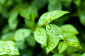 Water drops on fresh green leaves background — Stock Photo