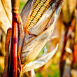 Corn closeup on the stalk — Foto Stock
