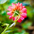 Red dahlia flower background — Stockfoto
