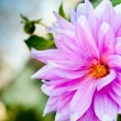Dahlia flower background. autumn flower — Stockfoto