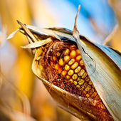 Corn closeup on the stalk — Stock Photo