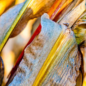 Colorful corn leaf closeup — Stock Photo