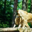 The lion (Panthera leo) — Stock Photo