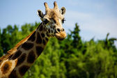 Giraffe (Giraffa camelopardalis) — Stock Photo