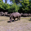 Stock Photo: Square-lipped rhinoceros (Ceratotherium simum)