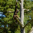 Brown-headed spider monkey (Ateles fusciceps fusciceps) — Stock Photo #37105517