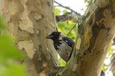 The Hooded Crow (Corvus cornix) — Foto de Stock