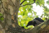 The Hooded Crow (Corvus cornix) — Stock Photo