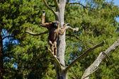 Brown-headed spider monkey (Ateles fusciceps fusciceps) — Stock Photo