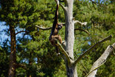 Brown-headed spider monkey (Ateles fusciceps fusciceps) — Stock Photo