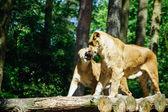 ライオン (パンテーラ レオ) — ストック写真