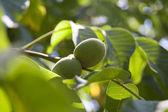 Green Walnuts on the tree — Stock Photo