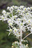 White Thorn bush on a blurred background — Stock Photo