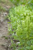 Basil plants — Stock Photo