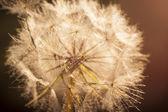 Flower Dandelion. Close-up — Stock Photo