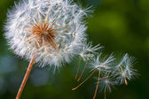Dandelion flower. Close-up — Stock Photo