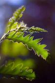 Dubové listí proti západu slunce — Stock fotografie