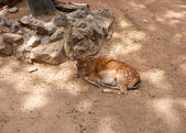 Fallow deer in the in the Parc de la Ciutadella. Barcelona. — Stock Photo