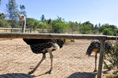 A group of ostrich in Friguia Animal Park. Hammamet,Tunisia. — Stock Photo