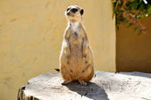 The meerkat on a stub in Friguia park. Tunisia. — Stock Photo