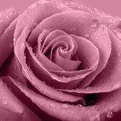 Blue rose — ストック写真