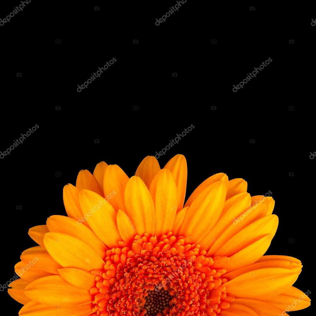 Gerbera's flower on the white background — Stock Photo #14968809