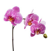 Maroon orchid isolated on a white — Stock Photo