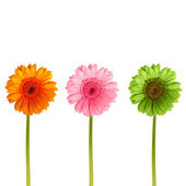 Colorful gerbers flowers isolated — Foto Stock