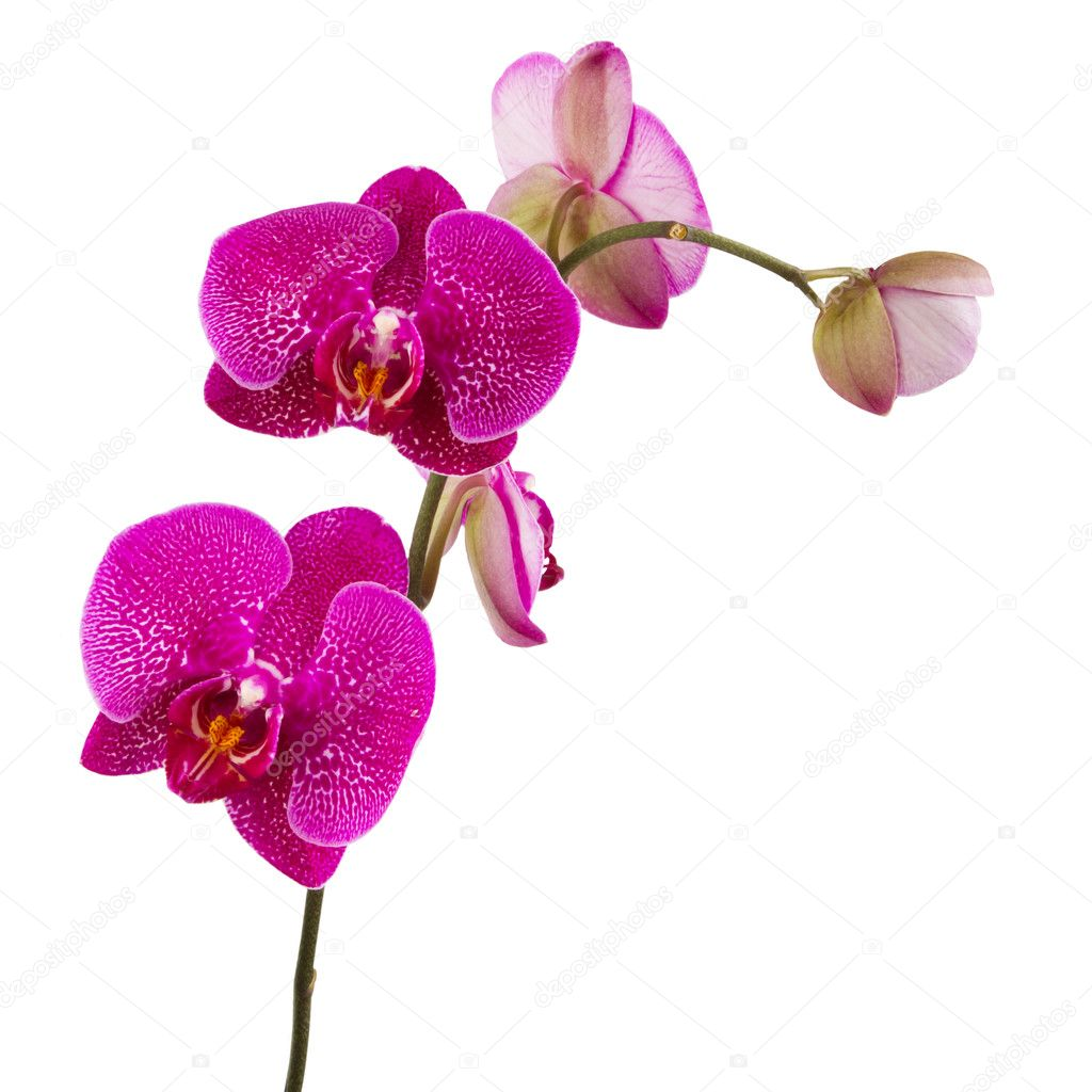 Orquídeas flores, aisladas sobre fondo blanco \u2013 Imagen de stock