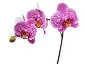 Orchidée marronne isolée sur un blanc — Photo