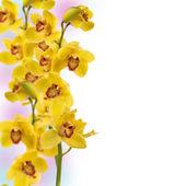 Gele orchideebloem geïsoleerd op witte achtergrond — Stockfoto