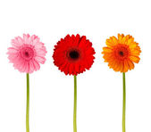Colorful gerbers flowers isolated — Stock Photo