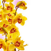 Yellow Orchid Flower isolated on white background — Foto Stock