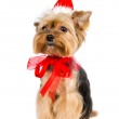 Yorkshire terrier at Christmas — Stock Photo #36381603