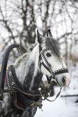 Horse-drawn sleigh — Fotografia Stock