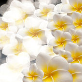 Frangipani Tropical Spa Flower. Plumeria. Border Design — Stock Photo