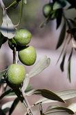 Olive ancora sull'albero — Stock Photo