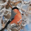 Stock Photo: Bird and hoarfrost