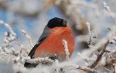 Bird and hoarfrost — Stock Photo