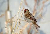 Bird redpoll — Stock Photo