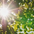 Rays of the sun through the leaves of the tree - Stock Photo