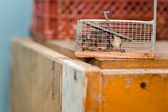 Mouse in a mousetrap — Stock Photo