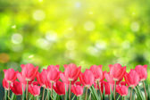 Spring tulips. — Stock Photo