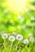Dandelions in the grass on a green background bokeh. — Stock Photo