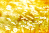 Wild daisies in the sunset light of the sun. — Stock Photo