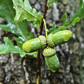 Young sprigs of oak with acorns. — Stock Photo