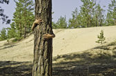 A child peeks out from a pine-tree. — Stock Photo