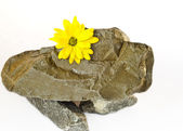 A tender yellow flower lies on wild natural stones on a white ba — Stock Photo