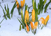 First tender spring flowers under snow. — Stock Photo
